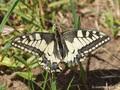 Schwalbenschwanz (Papilio machaon) - DE (ST)