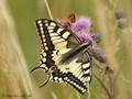 Schwalbenschwanz (Papilio machaon) - DE (NI)